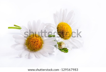 daisies summer white flower isolated on white background - stock photo