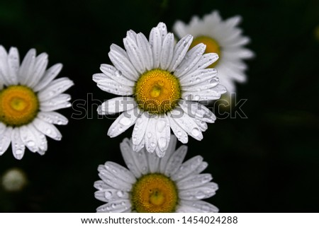 Daisies with water droplets, some in focus, some out of focus creating depth of field.