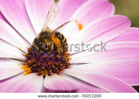 daisy, bee, hornet, purple, flower, spring, pollen, honey, summer, sun, pink