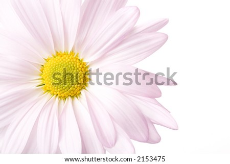 daisy closeup, highkey and isolated on white