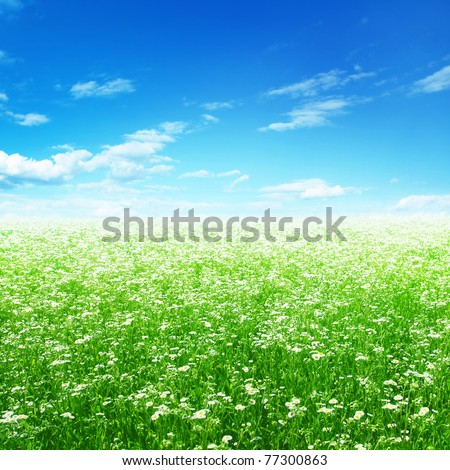 Daisy field and blue sky.