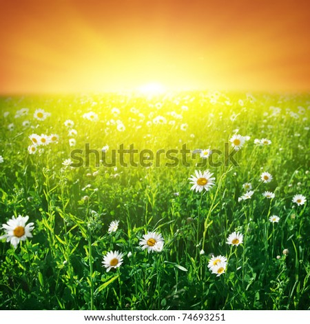 Daisy field and sunset sky.