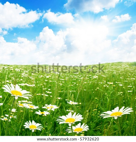 Daisy field,blue sky and sun.