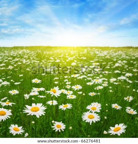 Daisy field,blue sky and sun.