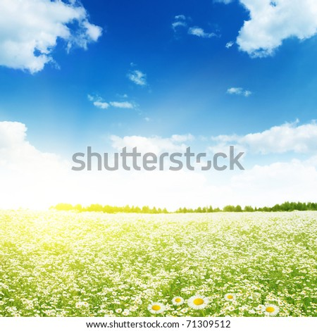 Daisy field,blue sky and sunlight.