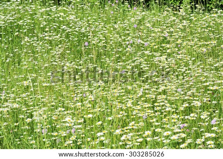 Daisy field. Field of daisies. Daisy background. Green and white background. Meadow, daisy.