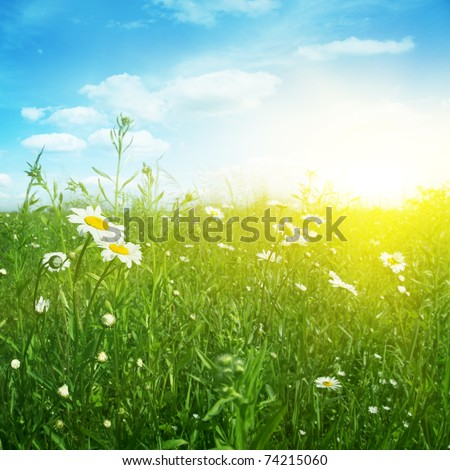 Daisy field in evening time.