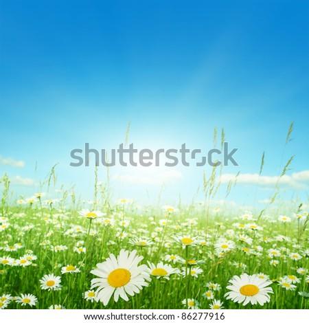 Daisy field on sunny summer day.