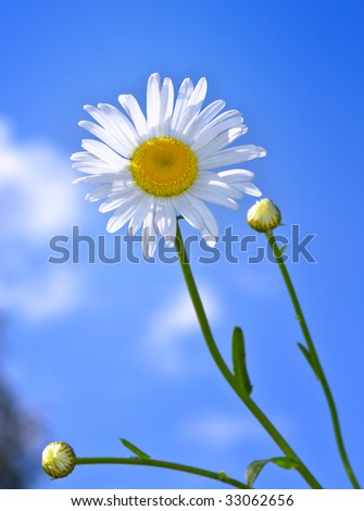 Daisy flower against a blue sky