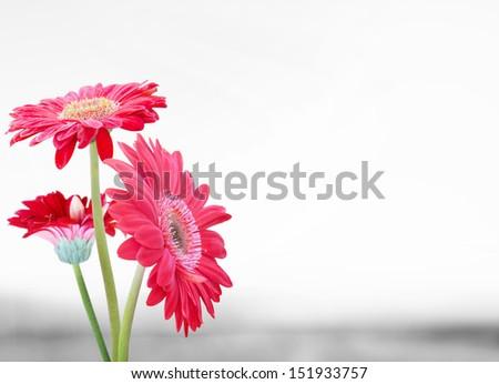 Daisy flower gerbera bouquet