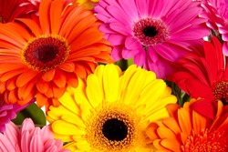 Daisy flower gerbera bouquet isolated