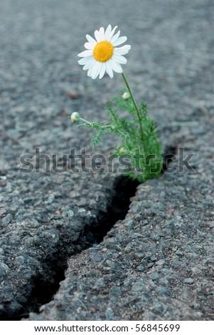 Daisy flower growing from cracked asphalt