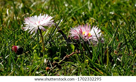 daisy flower growing on the lawns of the city of Bialystok in the Podlasie region of Poland Zdjęcia stock ©