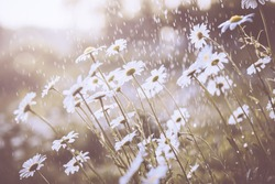 Daisy flower in spring rain,nature background.