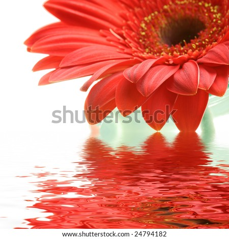 Daisy flower in the glass with water reflection - stock photo