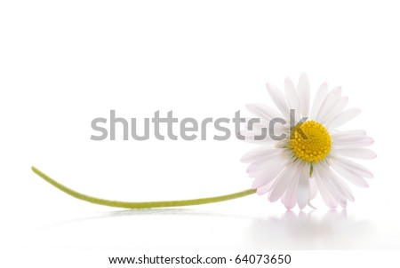 daisy flower isolated on white background with copyspace