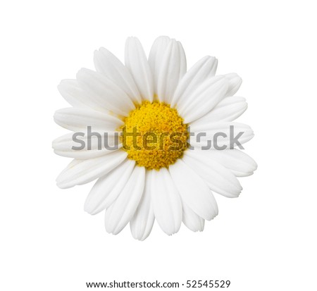 Daisy flower isolated with hand made clipping path