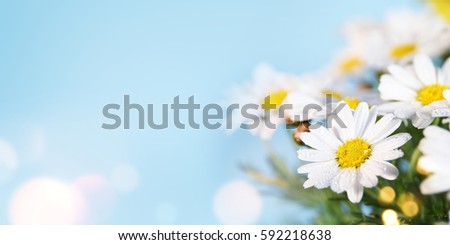 Daisy flower. Spring background. Present for Mothers Day  #592218638