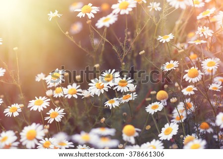 stock photo daisy flower wild chamomile 378661306 - Каталог — Фотообои «Цветы»