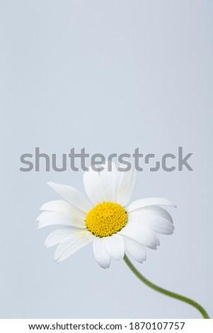 Daisy flower with leaves. Flowering daisies. Oxeye daisy, Leucanthemum vulgare, Common daisy, Lunar daisy.