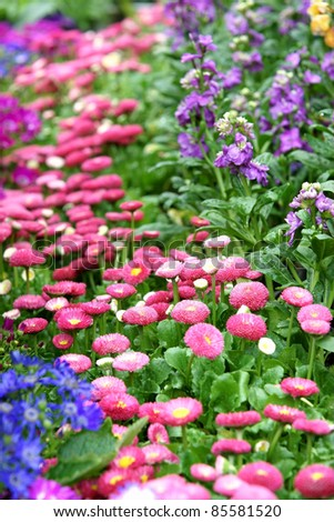 Daisy flowerbed background