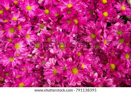 Daisy Flowered Mum, Hardy Mum, Chrysanthemum #791138395