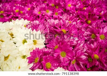 Daisy Flowered Mum, Hardy Mum, Chrysanthemum #791138398
