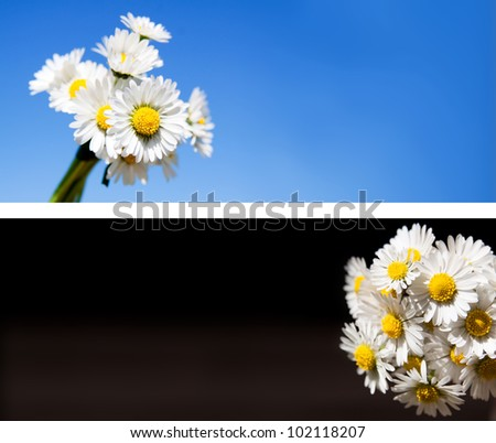 Daisy flowers  background collection. Useful also as web banner or header.