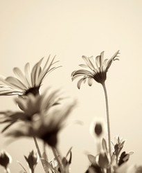 Daisy flowers background, sepia toned.