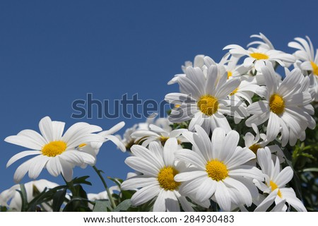 daisy flowers close-up - white daisies