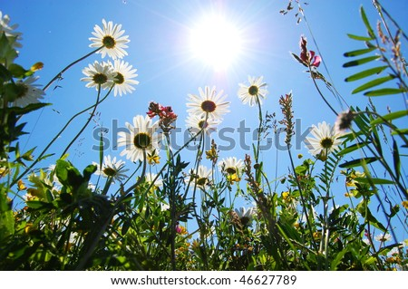 daisy flowers in summer under blue sky from below