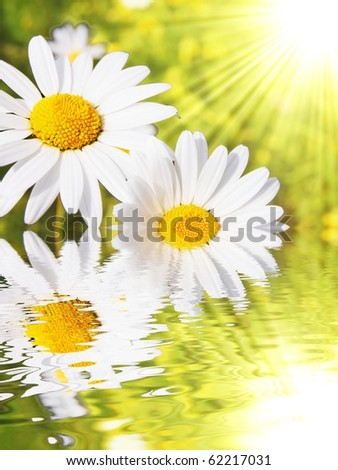 daisy flowers in summer with water reflection and copyspace