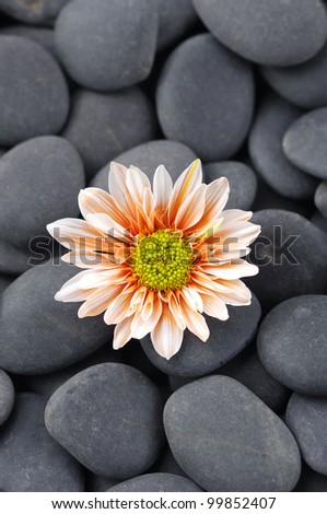 Daisy flowers isolated on pebble background - stock photo