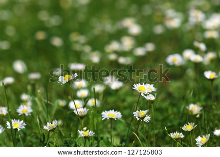 daisy flowers natural field