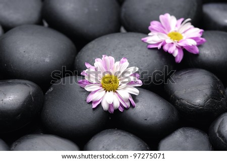 daisy flowers on black stones background showing health and wellness concept