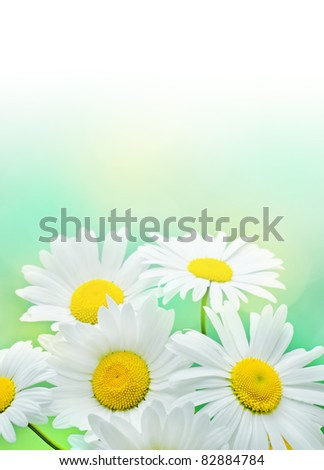 Daisy flowers on green background.