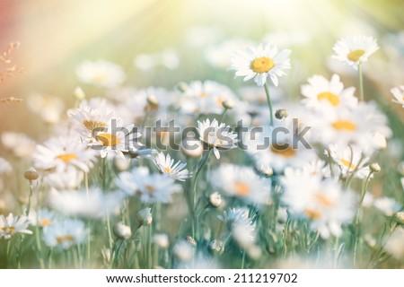 Daisy illuminated by sunlight - sun rays (sunbeams)