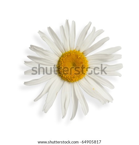 daisy isolated on white (with clipping path)