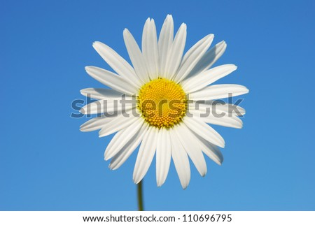 Daisy on a blue sky background