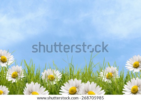 Daisy on grass field with blue sky and sunshine