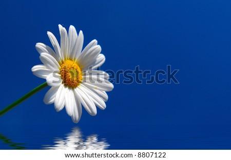 daisy on water reflection - stock photo