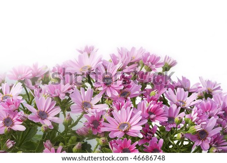 Daisy plant with small pink flowers set against a white background