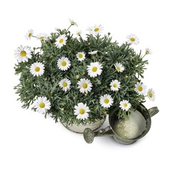 Daisy plant with watering can