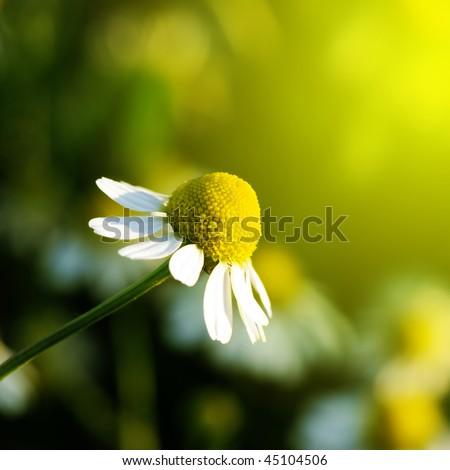 Daisy stretches toward the sun. Matricaria chamomilla.