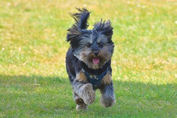 Daisy the Yorkshire Terrier Dog playing around at the beach and park
