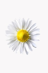 daisy, white background