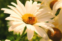 Daisy with bee,daisy,summer flower,bumblebee,Sepia daisies warm summer day.
