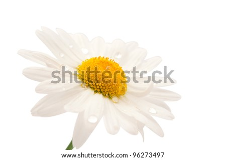 daisy with dew drops isolated on white background