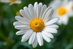 Daisys on a sunny day on a balcony in Germany. Leucanthemum is a common European composite species of white and yellow daisy, close up with bright petals, selective focus.