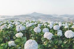 Dalat Vietnam 06 Feb 2018 : Hydrangea flowers are blooming